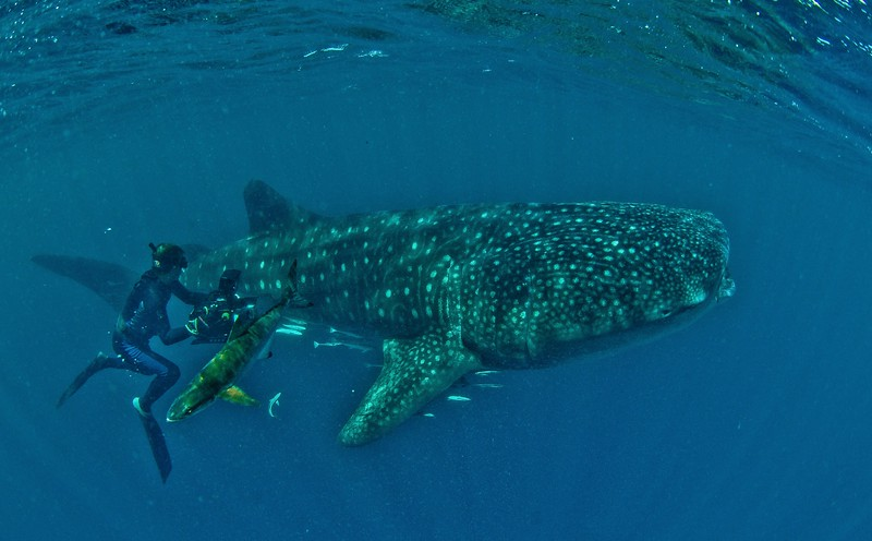 Whale Shark shooting. Wild Arabia BBC
