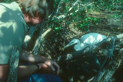 with Great White Heron, Everglades National Park, mid- 1980's