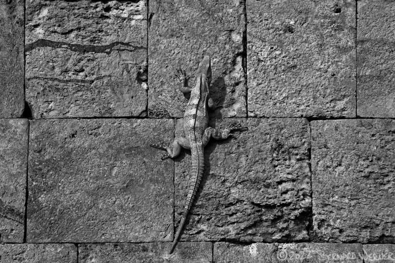 Leapin' Lizards!, Yucatan, MX,2011
