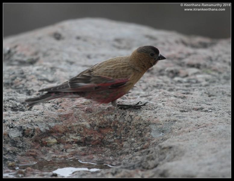 Brown-capped Rosy Finch,  Mount Evans, Colorado, June 2016