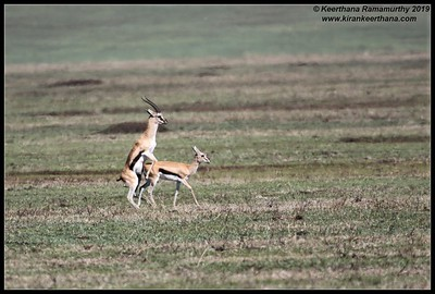 Thomson's Gazelle, Ngorongoro Crater, Ngorongoro Conservation Area, Tanzania, November 2019