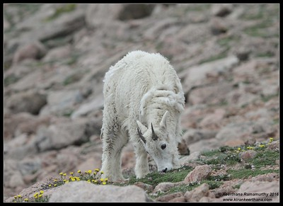 Mountain Goat, Mount Evans, Colorado, June 2016