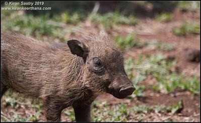 Warthog piglets, Ngorongoro Crater, Ngorongoro Conservation Area, Tanzania, November 2019