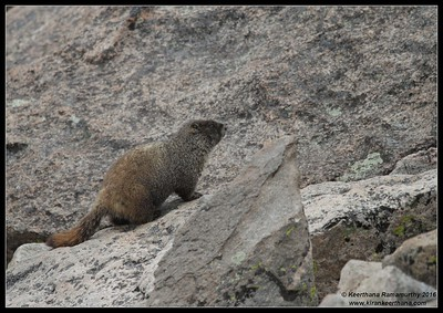 Yellow-bellied Marmot, Mount Evans, Colorado, June 2016