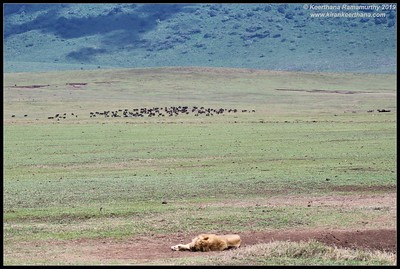 Lion, Ngorongoro Crater, Ngorongoro Conservation Area, Tanzania, November 2019