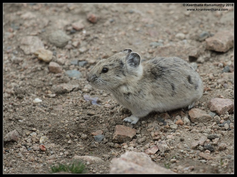 American Pika, Mount Evans, Colorado, June 2016