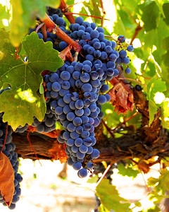 Cabernet Grapes, California