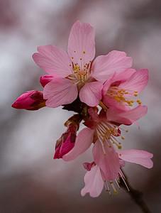 Spring Awakening - Redbud Blossom