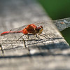 Sympetrum Dragonfly