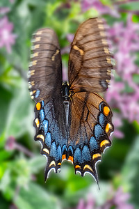 Swallowtail Hovering as Viewed From Above