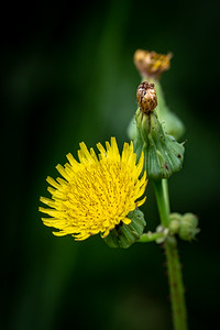 Smooth Saw-thistle