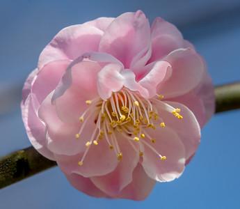 "Spring Begins -- ""Rosebud"" - Japanese Apricot"