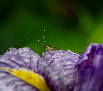 Iris Visitor