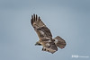 Red Tail Hawk, Cape Cod