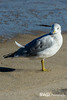 Seargull at Nauset Light Beach, Cape Cod