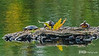 Three Painted Turtles - Cape Cod