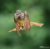 Great Crested Flycatcher in Flight