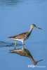 Greater Yellowlegs, Cape Cod