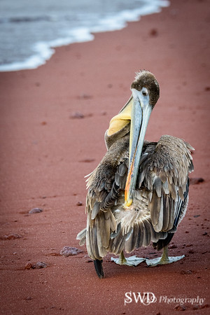 Pelican Cleaning its Preen (Oil) Gland