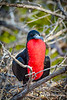 Male Magnificent Frigatebird with Inflated Throat Pouch to Attract Females During Breeding Season