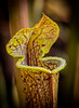 Pitcher plant with Morning Dew