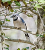 Patience (Bluejay)