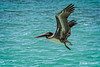 Brown Pelican, Seven Mile Beach, Grand Cayman