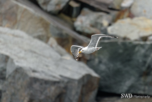 Herring Gull Soaring Along the Cliffs of Maine