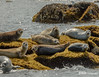 Harbor Seals off the Maine Coast