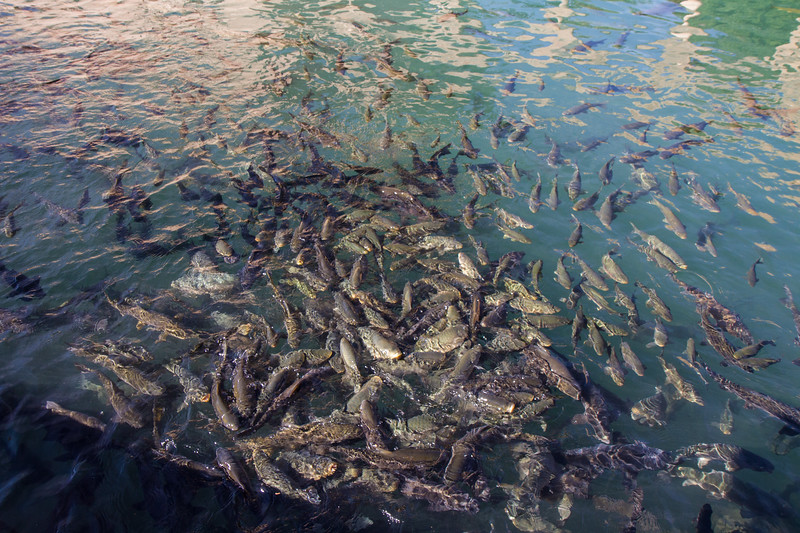 Holy carp in the Balıklıgöl. Legend has it that King Nimrod had Abraham throw into a lake of fire for his monotheistic beliefs. God came to Abraham's aid and turned the fire into water and the coals into fish.