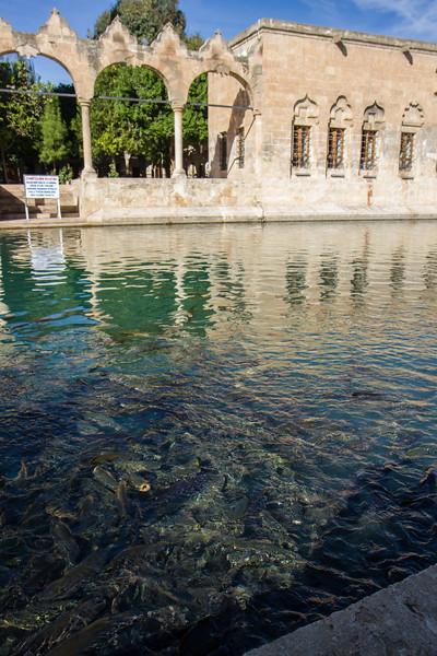 Holy carp at the Balıklıgöl in downtown Şanlıurfa.