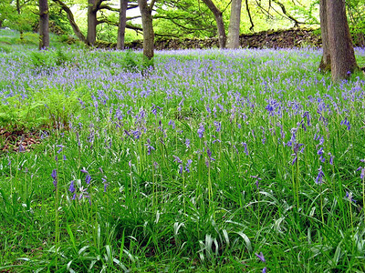 Bluebells  It was early summer at the time and flowers were in full bloom.