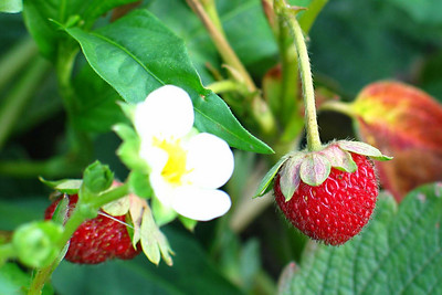 Wellington Fruit Farm 1 - Young strawberries