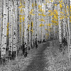 A walk among the aspen