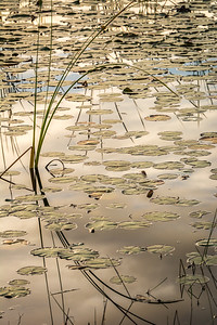Golden Lily Pads and Grasses with Cloud Reflections