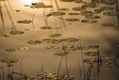 Golden Lily Pads