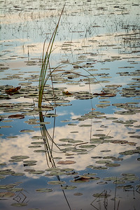 Lily Pads and Grasses with Sky and Cloud Reflections