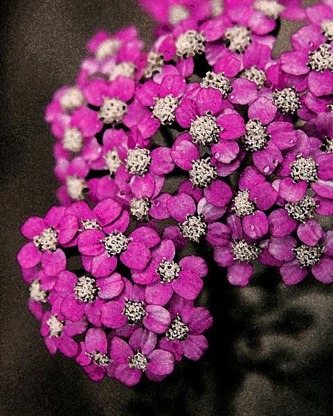 Pink Delicates