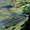 Cobalt Ripples in Green Water on the Duck River