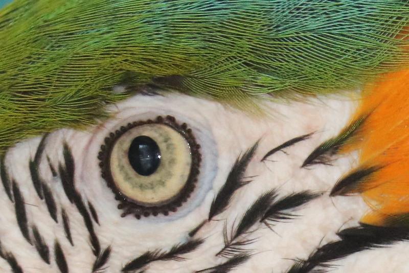 Parrot's Eye