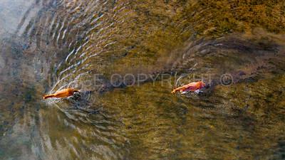 Wild Horses Crossing the Lower Salt River