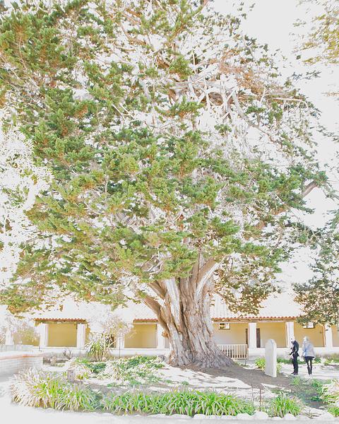 Cork Oak, Carmel Mission