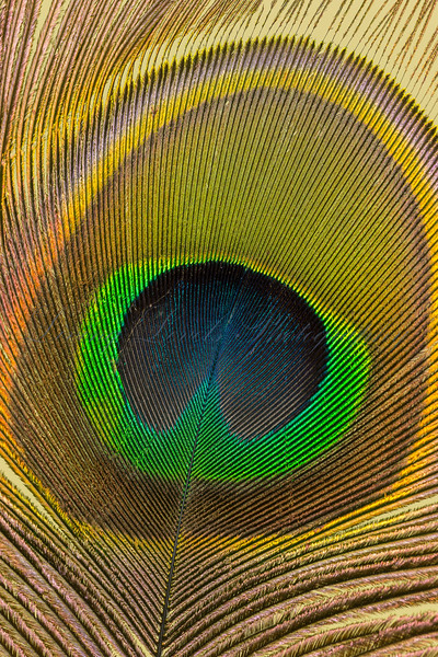 Close up still life view of the eye of  a peacock's feather