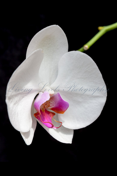 A close up of a white orchid flower (Phalaenopsis species) against a black background