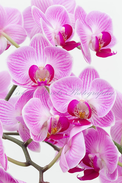 Close up of pink veined orchid flowers (Phalaenopsis species) against a white background