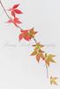 Cut Virginia Creeper (Parthenocissus quinquefolia) stem showing graduated formation of intense Autumn colour.
