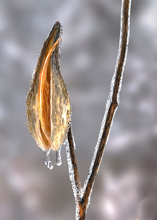Milkweed in Ice