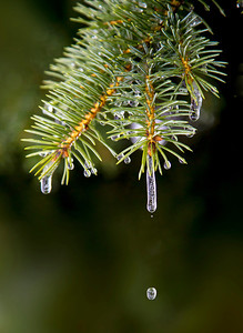Ice Cicles Melting on a Pine Branch