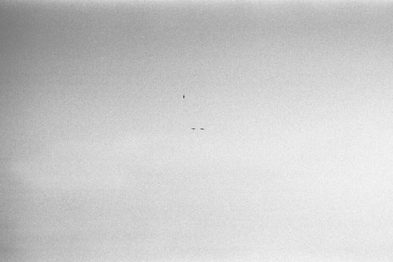 <b>Three Birds on Grain</b> Three birds in perpendicular flight against a backdrop of silver halides.