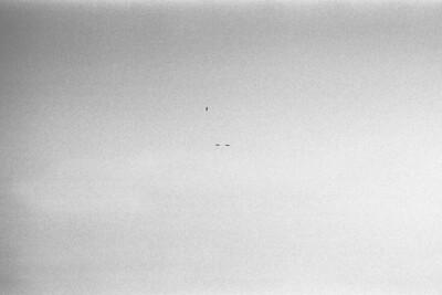 Three Birds on Grain Three birds in perpendicular flight against a backdrop of silver halides.
